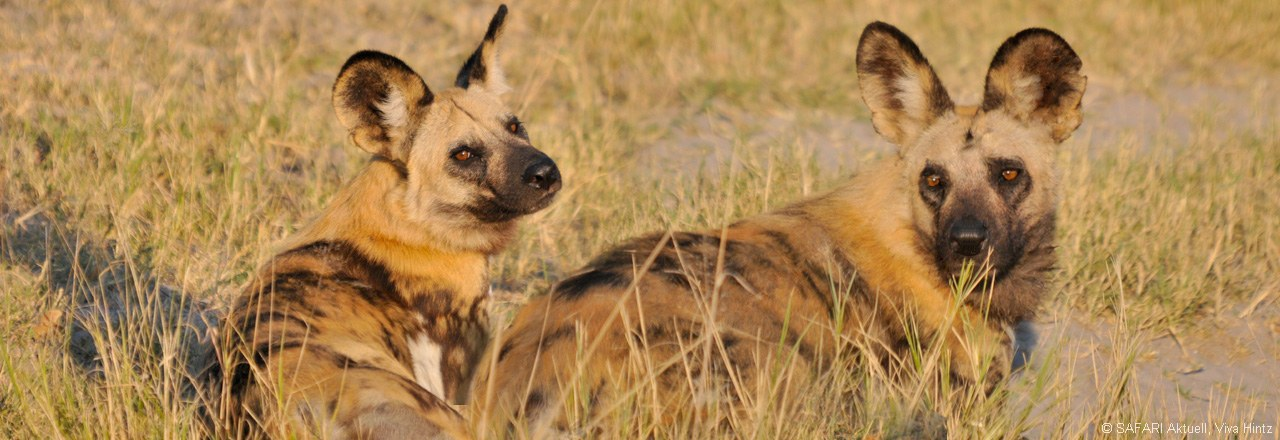 Wilddogs in Botswana